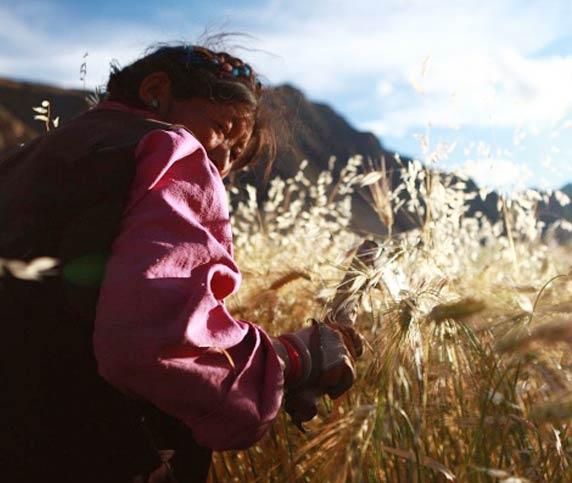 A local farmer is harvesting the barley.