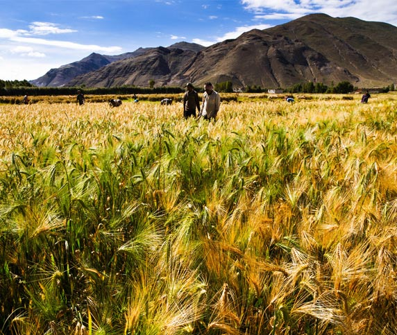 Barley Farmland in Shigatse