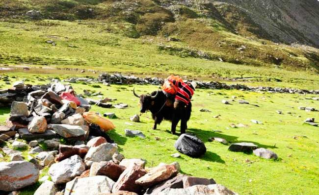 You may meet the yak during your trekking.