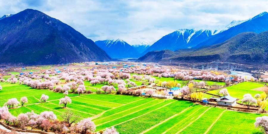 Bome Peach Blossoms