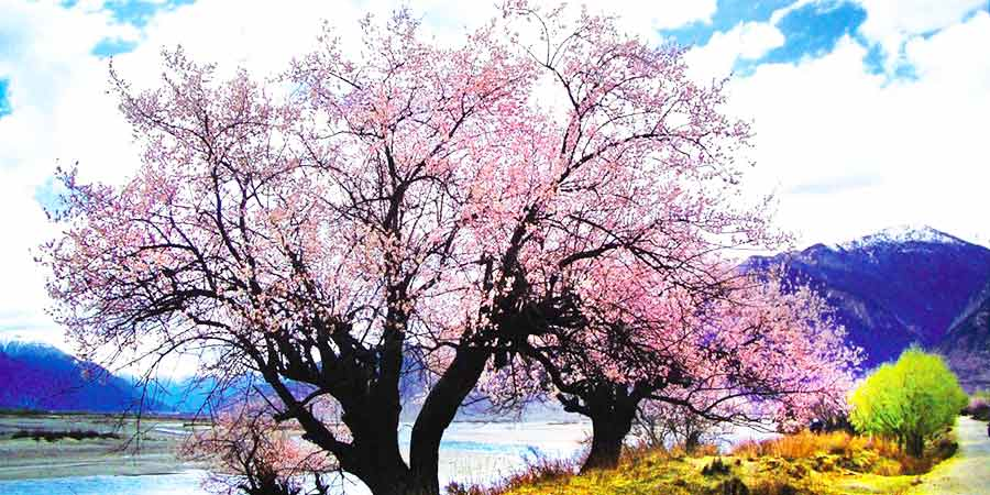 Peach Blossoms in the Niyang River Valleya