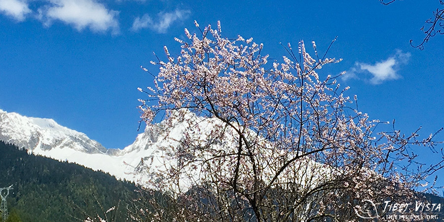 Rosey Peach Blossoms in Nyingchi, Tibet