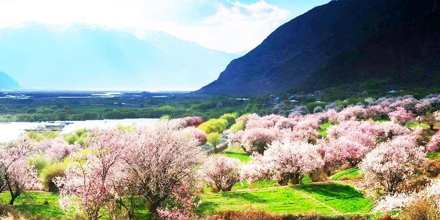Peach Blossoms on the Yarlung Zangbo River Banks